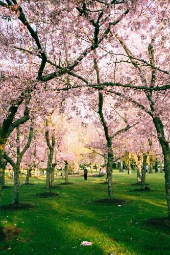 写真をおしゃれに撮るコツ(桜の木から離れて撮る)
